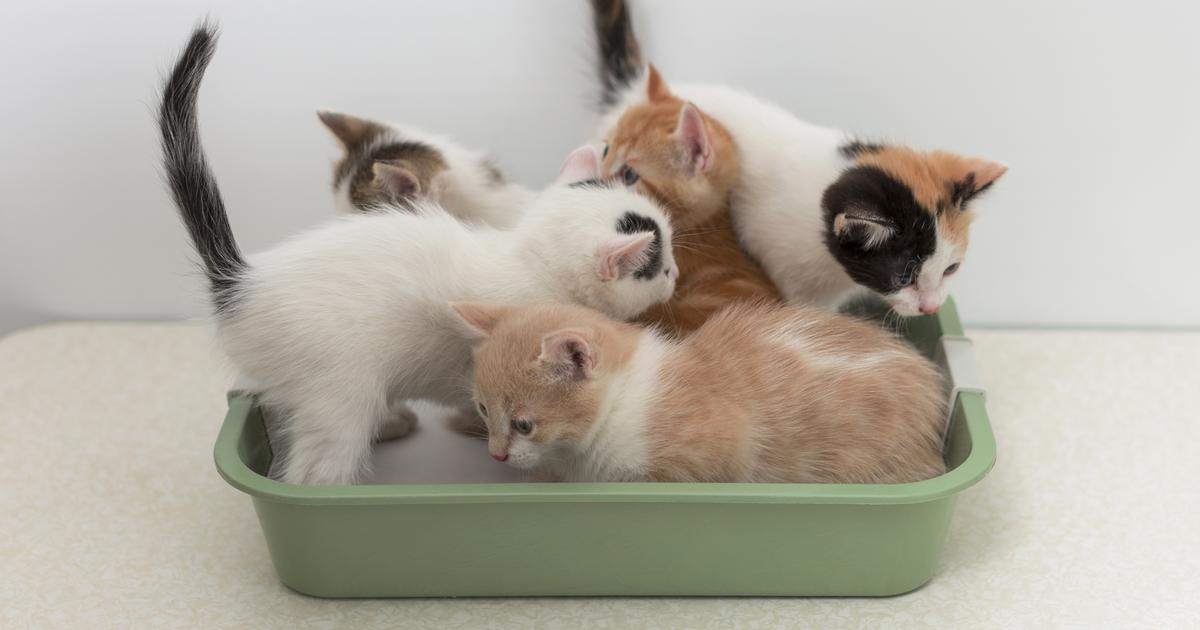 Kitties in a cat litter